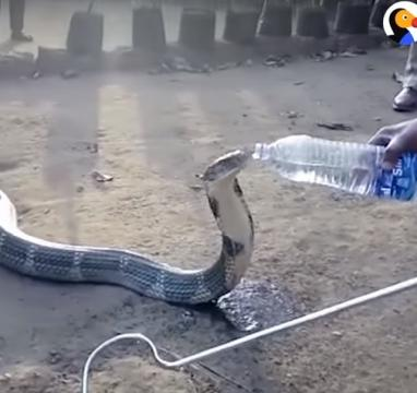 Thirsty Cobra Gets Drink From Kind Men