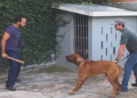 Tosa Inu - Amazing Japanese Fighting Dog