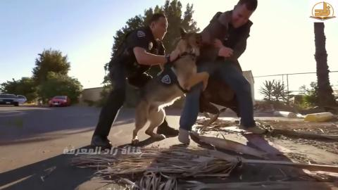 Amazing And Well Trained Police Shephred Dogs