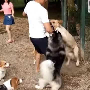 Big Dogs Fight In The Park